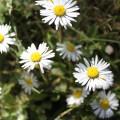 Daisys In Field