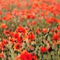 Poppys in a field